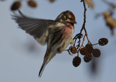 Photo of Redpoll Male Wing Out on NatuarlCrooksDotCom
