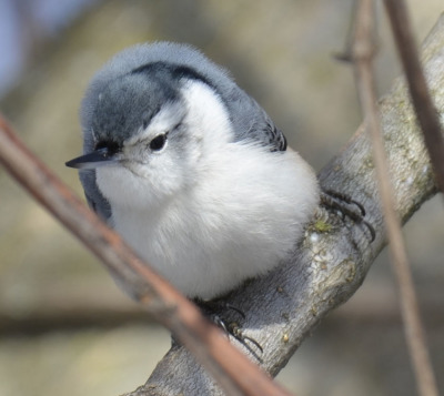 Photo of White Breasted Nuthatch Face on On NaturalCrooksDotCom
