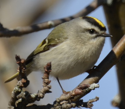 Photo of Golden Crowned Kinglet Saddington On NaturalCrooksDotCom