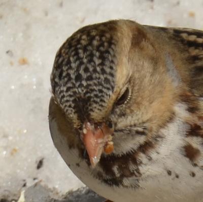 Photo of Harris's Sparrow Crown on NaturalCrooksDotCom