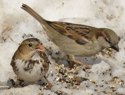 Photo of Harris's Sparrow and House Sparrow On NaturalCrooksDotCom