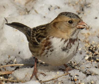 Photo of Harris's sparrow on NaturalCrooksDotCom