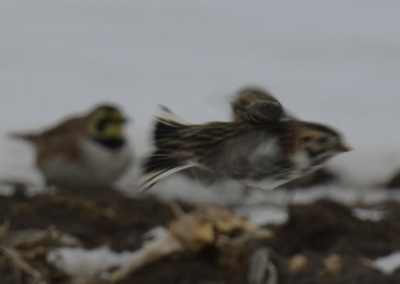 Photo of Lapland Longspur Flight On NaturalCrooksDotCom
