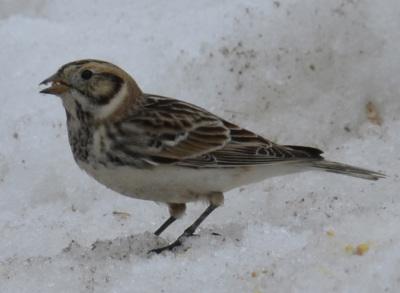 Photo of Lapland Longspur Seed Snow On NaturalCrooksDotCom