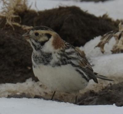 Photo of Lapland Longspur Turned Mud On NaturalCrooksDotCom