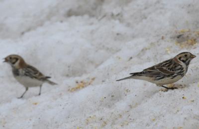 Photo of Lapland Longspurs 2 On NaturalCrooksDotCom