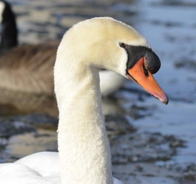 photo of Mute Swan Face on NaturalCrooksDotCom