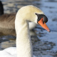 photo of Mute Swan Face on NaturalCrooksDotCom
