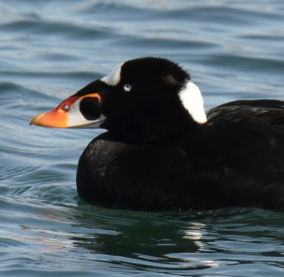 Photo of Surf Scoter Male See Through Nose on NaturalCrooksDotCom