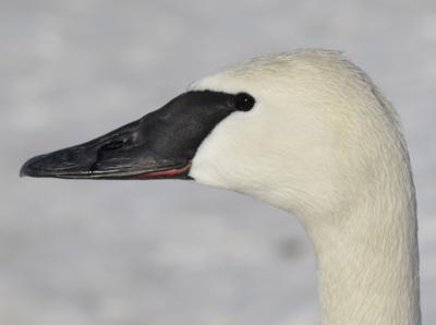 photo of Trumpeter Swan Face Side on NaturalCrooksDotCom