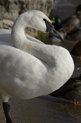 Photo of Trumpeter Swan S On NaturalCrooksDotCom