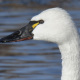 Photo of Tundra Swan Face Side on NaturalCrooksDotCom