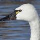 Photo of Tundra Swan Face Side on NaturalCrooksDotCom