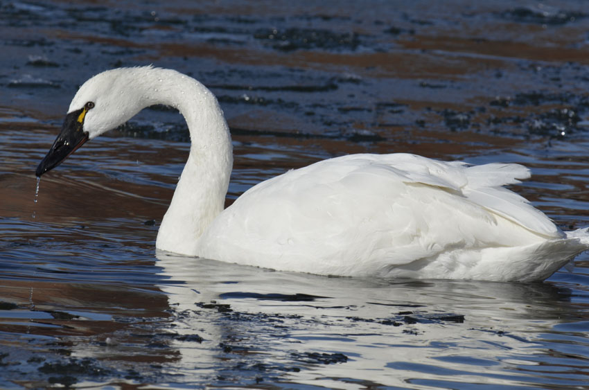 Photo of Tundra Swan on NaturalCrooksDotCom