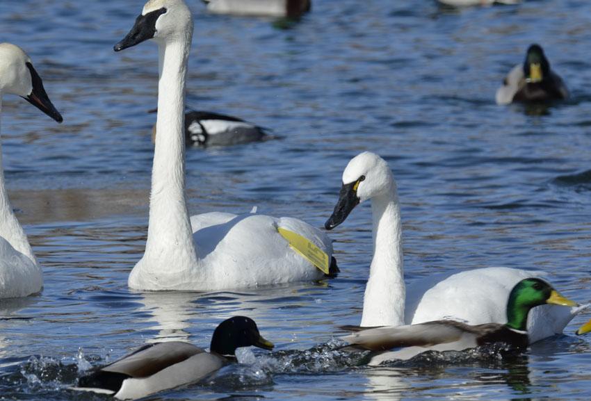 Photo of Tundra and Trumpeter Swans on NaturalCrooksDotCom