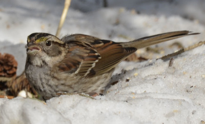 Photo of White Throated Sparrow on NaturalCrooksDotCom