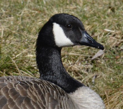 Photo of Mountberg Canada Goose Face on NaturalCrooksDotCom