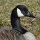 Photo of Mountberg Canada Goose Face on NaturalCrooksDotCom