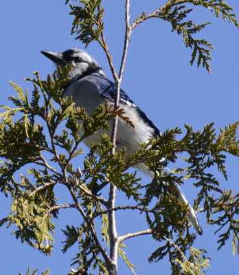 Photo of Mountsberg Blue Jay On NaturalCrooksDotCom
