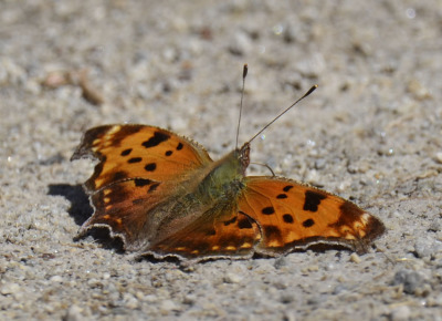 Photo of Mountsberg Comma On NaturalCrooksDotCom