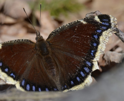 Photo of Mountsberg Mourning Cloak On NaturalCrooksDotCom