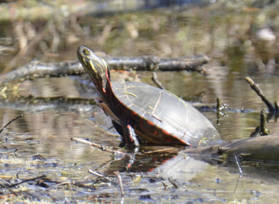 Photo of Mountsberg Painted Turtle on NaturalCrooksDotCom