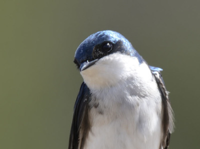 Photo of Mountsberg Tree Swallow On NaturalCrooksDotCom