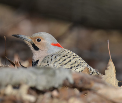 Photo of Northern Flicker Male Dirty Bill on NaturalCrooksDotCom