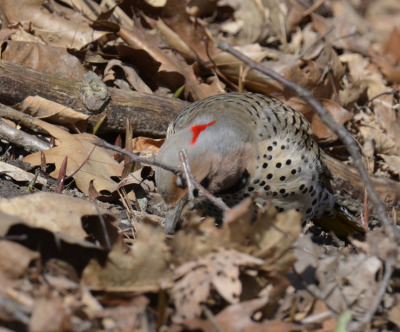 Photo of Northern Flicker Male Ground Hunting on NaturalCrooksDotCom