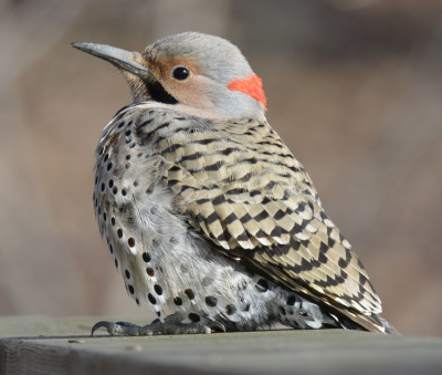 Photo of Northern Flicker Male Railing on NaturalCrooksDotCom