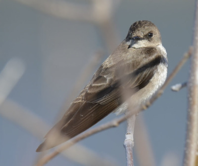Photo of Northern Rough Winged Swallow Bush On NaturalCrooksDotCom