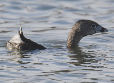 Photo of Pied Billed Grebe Going Down on NaturalCrooksDotCom