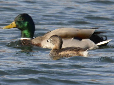 Photo of Pied Billed Grebe Male Mallard on NaturalCrooksDotCom