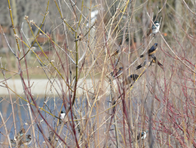 Photo of Swallow Bush 2 On NaturalCrooksDotCom