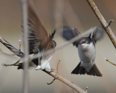 Photo of Tree Swallow Flight on NaturalCrooksDotCom