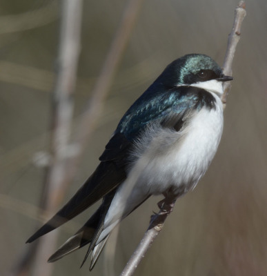 Photo of Tree Swallow Perched on NaturalCrooksDotCom