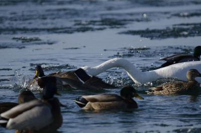 Photo of Tundra Swan Vs Mallard A Lunge on NaturalCrooksDotCom