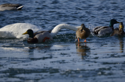 Photo of Tundra Swan Vs Mallard B on NaturalCrooksDotCom