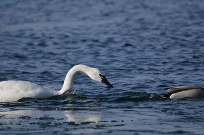 Photo of Tundra Swan Vs Mallard C on NaturalCrooksDotCom