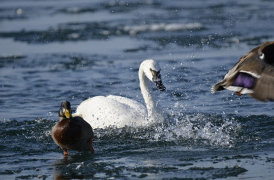 Photo of Tundra Swan Vs Mallard E on NaturalCrooksDotCom