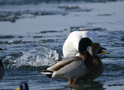 Photo of Tundra Swan Vs Mallard F on NaturalCrooksDotCom