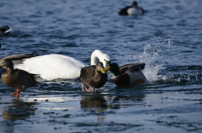 Photo of Tundra Swan Vs Mallard G on NaturalCrooksDotCom