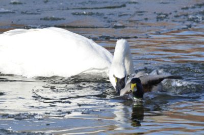 Photo of Tundra Swan Vs Mallard I on NaturalCrooksDotCom