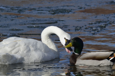 Photo of Tundra Swan Vs Mallard J Hiss on NaturalCrooksDotCom