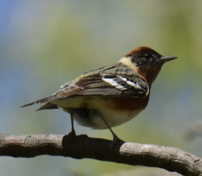 Photo of Bay Breasted Warbler 2015 on NaturalCrooksDotCom