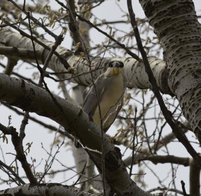 Photo of Black Crowned Night Heron Lakeside Park on NaturalCrooksDotCom