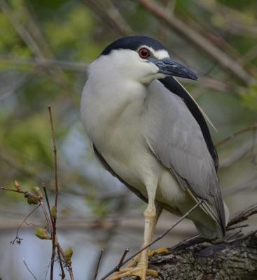 Photo of Black Crowned Night Heron Rattray A on NaturalCrooksDotCom