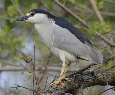 Photo of Black Crowned Night Heron Rattray on NaturalCrooksDotCom