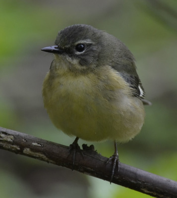 Photo of Black Throated Blue Warbler Female 2015 B onNaturalCrooksDotCom