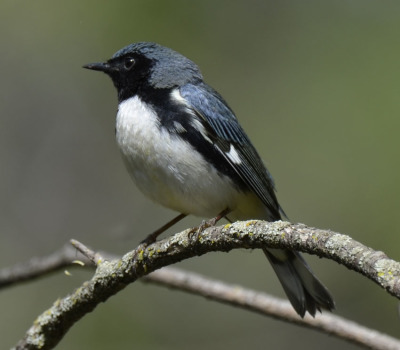 Photo of Black Throated Blue Warbler Male 2015 on NaturalCrooksDotCom